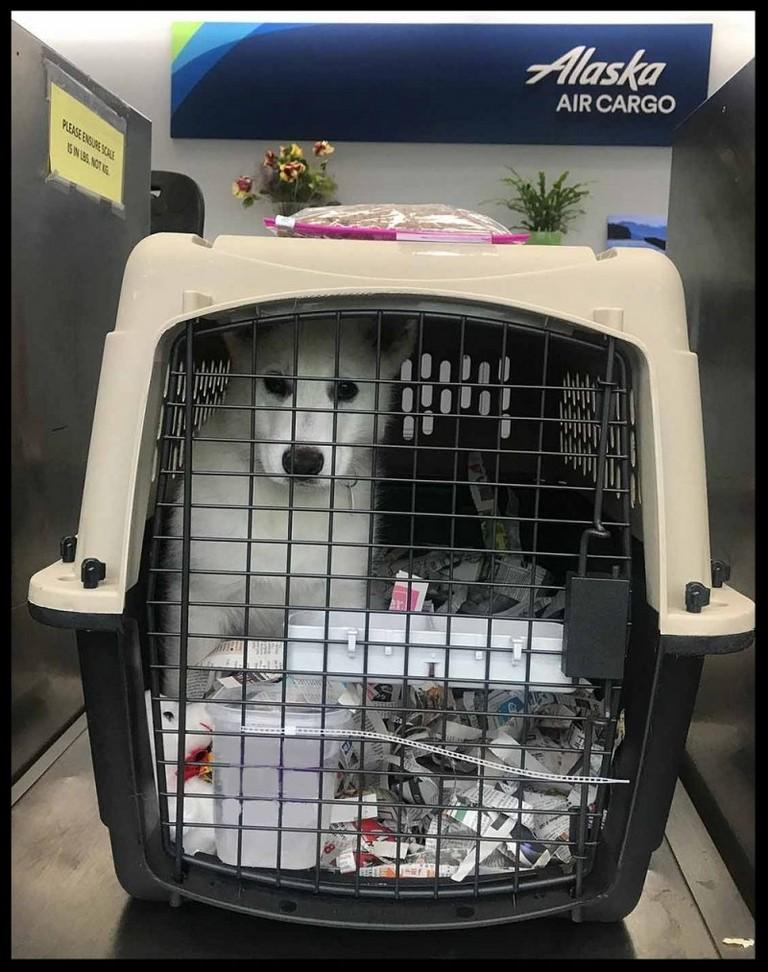 Alaska Airlines Pet Travel