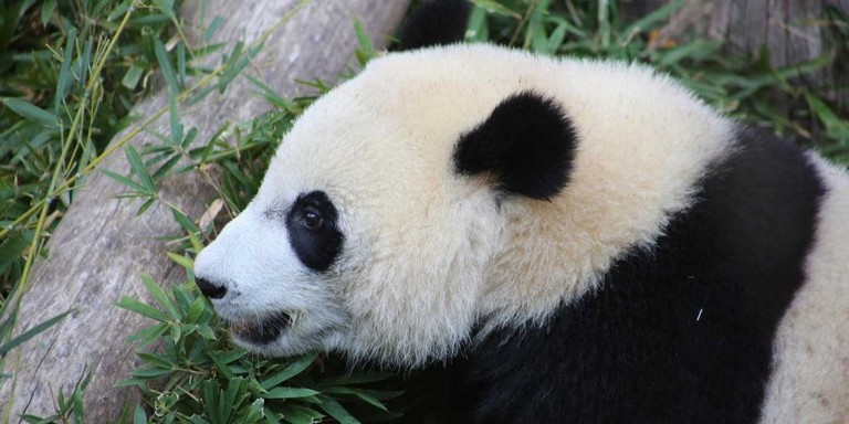 Baby Panda Washington Zoo