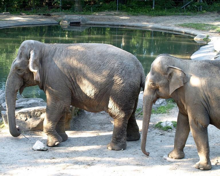 Bronx Zoo Elephants