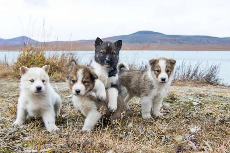 Denali National Park Puppy Cam