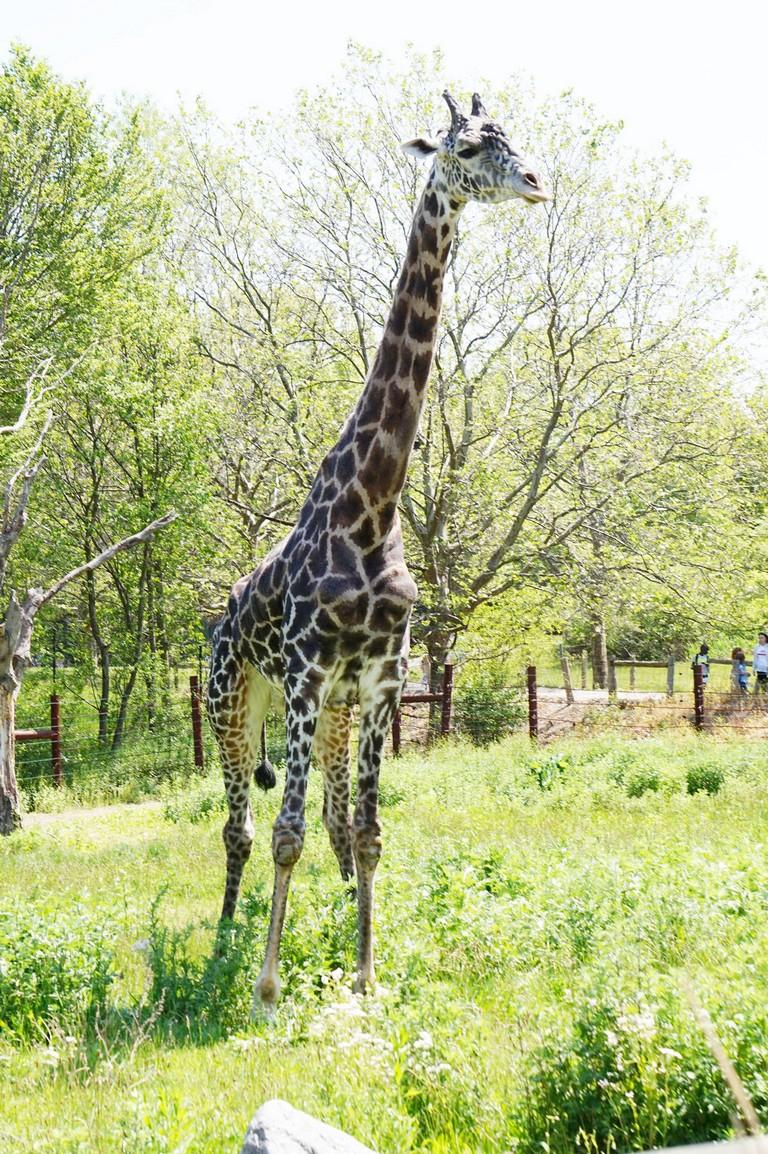 Beau The Giraffe (franklin Park Zoo Photo)