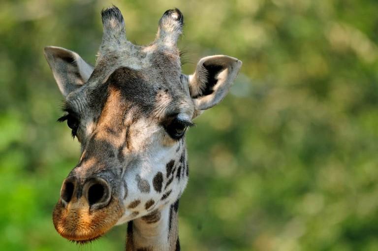 Greenville Zoo Giraffe Cam