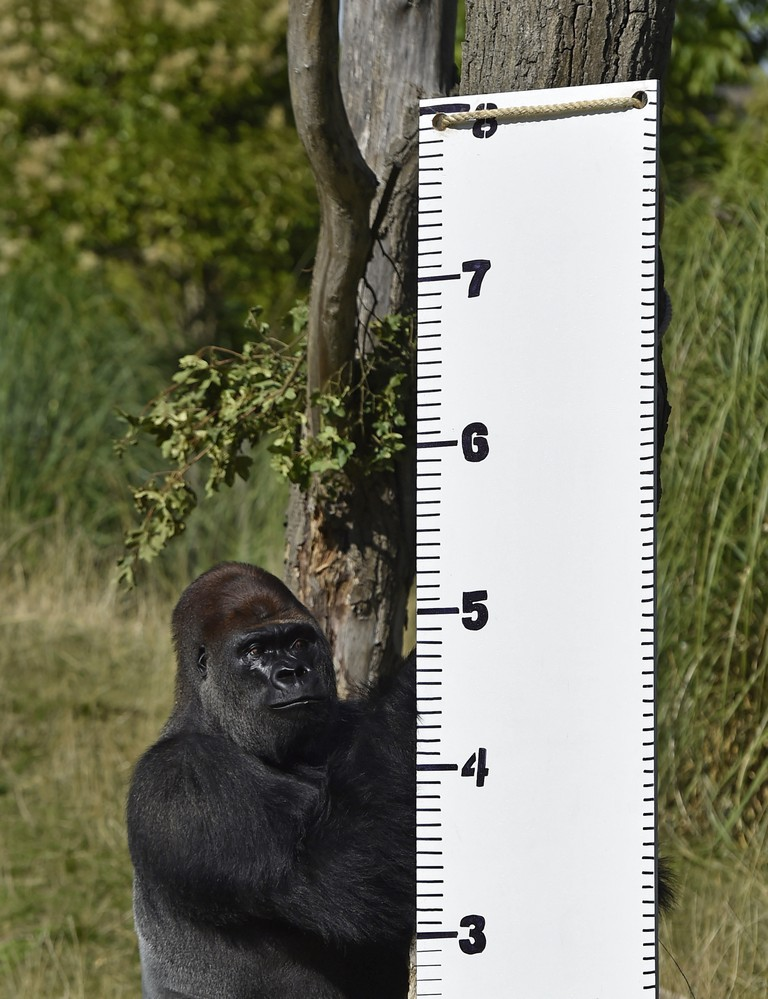 """kimbuka"", A Western Lowland Gorilla Stands By A Height Chart That Was Placed In His Enclosure At London Zoo"
