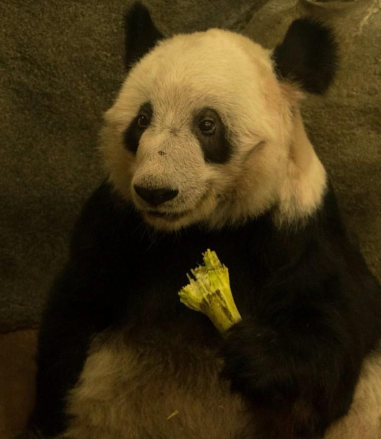 Memphis Zoo Pandas