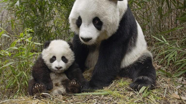 Panda Cam Washington Zoo