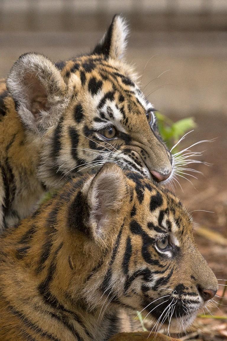 San Diego Zoo Tiger Cam