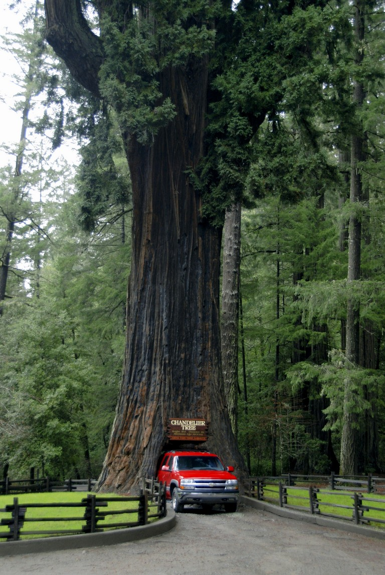 San Francisco To Redwoods National Forest Luxury Full View Of Chandelier Drive Thru Tree En Route From Redwood