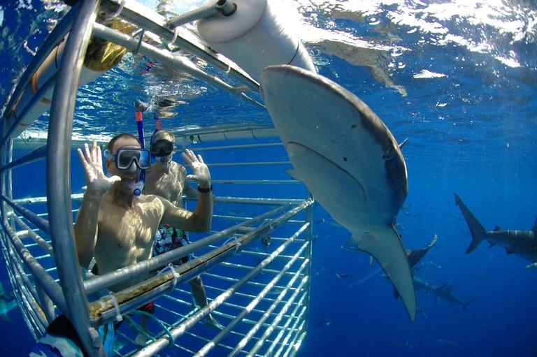 Shark Cage Diving Hawaii