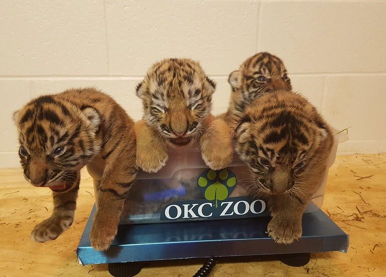 Tiger Zoo Oklahoma